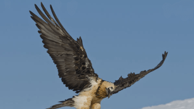 Observation bearded vulture
