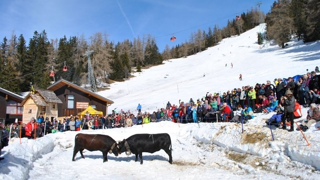 Valais cow fight in snow